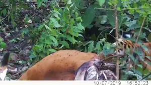 (ชมคลิป) น่าทึ่ง! เผยภาพเต็มๆ เสือโคร่งห้วยขาแข้งลากซากวัวแดงให้ลูกกิน