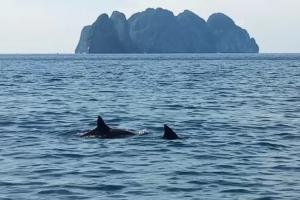 ตื่นตา! ฝูงโลมาว่ายน้ำโชว์นักท่องเที่ยวกลางทะเลเกาะพีพี