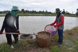 เขื่อนลำปาวเตือนเกษตรกรกักเก็บน้ำ ป้องกันกุ้งน็อกก่อนหยุดส่งน้ำตามฤดูกาล