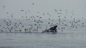 """""""ลูกท็อป"""" ห่วงเจ็ตสกีรบกวนวาฬบรูด้า ถามหาจิตสำนึกนักท่องเที่ยว พร้อมผลักดันเป็นแหล่งท่องเที่ยวชมวาฬแบบเกาะเซบู ฟิลิปปินส์"""