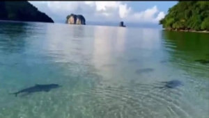 ฮือฮา! ฝูงฉลามหูดำโผล่อวดโฉมที่เกาะไม้ไผ่ จ.กระบี่