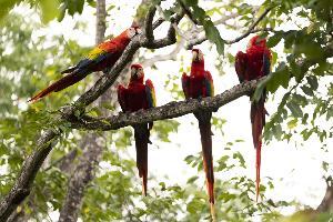 ตามติดชีวิตอิสระของนกมาคอว์ (โนซารา, คอสตาริกา)
