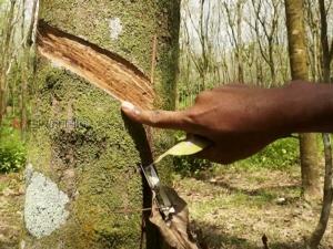 พบเชื้อราพันธุ์ใหม่ระบาดหนักใน จ.นราธิวาส ทำสวนยางเสียหายแล้วนับแสนไร่