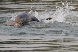 เขมรปลื้มฉลองความสำเร็จอนุรักษ์โลมาอิรวดีในน้ำโขงจนจำนวนเพิ่มขึ้น