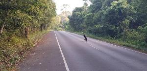 เตือนนักท่องเที่ยวขับขี่รถอย่างระมัดระวัง เพื่อรักษาชีวิตสัตว์ป่าเขาใหญ่
