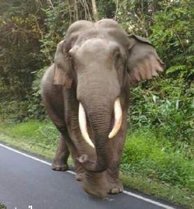 """มารู้จัก """"พี่ดื้อ"""" ช้างป่าใจดีแห่งอุทยานแห่งชาติเขาใหญ่"""