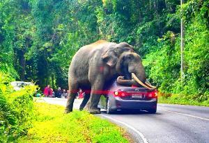 """ระวัง! """"เจ้าดื้อ"""" ออกรับลมหนาวอุทยานฯ เขาใหญ่ เตือนนักท่องเที่ยวรับมือเมื่อเจอช้างป่าบนถนน"""