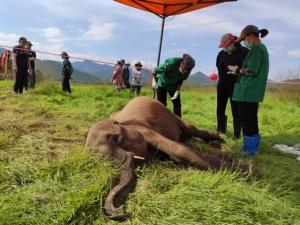น่าสงสาร!!ลูกช้างป่ากุยบุรี ล้มกลางแปลงหญ้าสถานีพัฒนาอาหารสัตว์