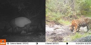 ชื่นใจ! เผยภาพสัตว์ป่าในห้วยขาแข้ง สะท้อนให้เห็นถึงความสมบูรณ์ของผืนป่า