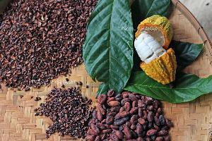โกโก้จากสวนโกโก้ วัลเล่ย์ กลายมาเป็นช็อกโกแลคุณภาพเยี่ยมส่งตรงถึงคาเฟ่