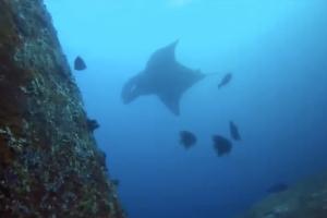 ตื่นตาสัตว์ทะเลหายาก กระเบนราหูขนาดยักษ์โผล่เกาะตาชัย อวดโฉมนักดำน้ำ