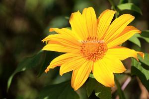 ดอกบัวตองสีเหลืองสดใส