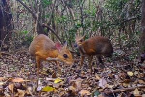 นักอนุรักษ์เฮ จับภาพ 'กระจง' ในป่าเวียดนามได้อีกครั้งหลังผ่านไปเกือบ 30 ปี