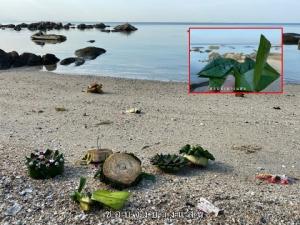เตือนภัย! เดินริมหาดบางแสน ระวังตะปู เข็มหมุด ไม้แหลม จากซากกระทง