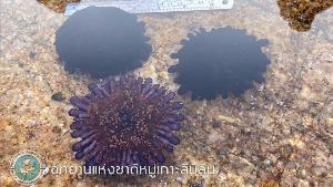เปรียบเทียบลักษณะด้านบน-ล่าง ของหอยเม่นหมวกกันน็อค (ภาพ : เพจ อช. หมู่เกาะสิมิลัน)