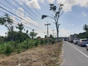 ตัดเกลี้ยงแล้วต้นยางนาอายุ 100 ปีริมถนนท่านุ่นพังงา ระบุตัดออกเพื่อความปลอดภัย