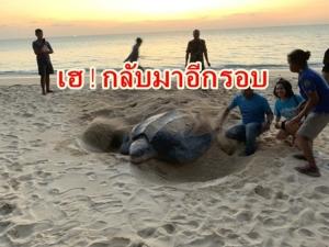 เฮ! แม่เต่ามะเฟืองขึ้นมาวางไข่ที่หาดท้ายเหมือง จ.พังงา อีกแล้วหลังหายไปนาน