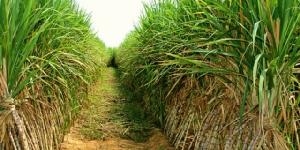 โรงงานน้ำตาลทรายหวั่นรัฐขีดเส้นรับผลผลิตอ้อยไฟไหม้ไม่เกิน 50% ต่อวัน ยากต่อการปฏิบัติ