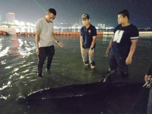 เจอแล้ว! วาฬเพชฌฆาตแคระดำบาดเจ็บว่ายน้ำจากตราดเกยหาดที่พัทยา เร่งนำตัวรักษาที่สัตหีบ