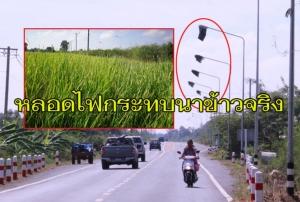 ไม่งมงาย! เกษตร จ.บุรีรัมย์ชี้ชัดแสงไฟฟ้าทำนาข้าวโตช้าไม่ออกรวงจริง ยอมรับเป็นปัญหาหลายพื้นที่