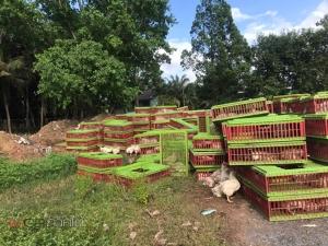 เผยภาพสลดใจ! ด่านกักกันสัตว์สงขลาฆ่าฝังดินไก่ทั้งเป็นเกือบ 4,000 ตัว