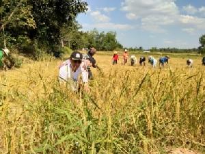 หอการค้าชวนนักศึกษาลงแขกเกี่ยวข้าวนาอินทรีย์ช่วยเกษตรกรลดต้นทุน