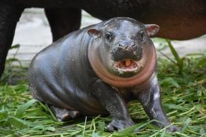 สวนสัตว์เปิดเขียวชวนตั้งชื่อสมาชิกใหม่ลูกฮิปโปแคระ ชิงเงินรางวัล