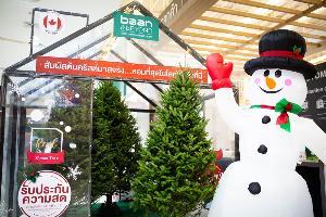 """""""บ้านแอนด์บียอนด์"""" และ """"ไทวัสดุ"""" นำเข้าต้นคริสต์มาสจริง สายพันธ์ที่หอมที่สุดในโลกพร้อมจำหน่ายแล้ว !!"""