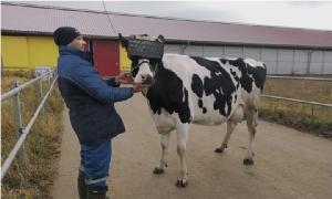 """รัสเซียทดลองจับ """"วัว"""" สวมแว่น VR ช่วยผ่อนคลายเพิ่มผลผลิต"""