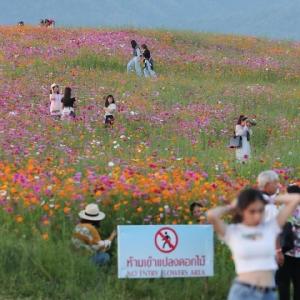 นักท่องเที่ยวฝืนประกาศห้ามเข้าแปลงดอกไม้ แห่ย่ำเซลฟีเพียบ