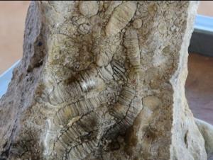 (ชมคลิป)พบซากฟอสซิลในสวนปาล์มน้ำมันชาวบ้าน จ.สระแก้ว คาดอายุกว่า 250 ล้านปี