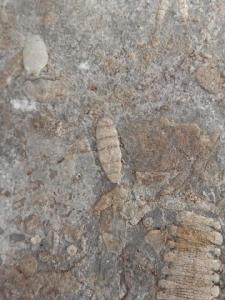"""เฉลยแล้ว! ซากฟอสซิลที่หญิงสาวพบหลังบ้าน คือ """"พลับพลึงทะเล"""" อายุหลายร้อยล้านปี"""