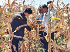 """""""บัลลังก์โมเดล"""" ซีพีชูความสำเร็จต้นแบบชุมชนเกษตรกรปลูกข้าวโพดยั่งยืน ต่อเนื่องเป็นปีที่ 4"""