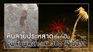 """หินลายประหลาดที่แท้เป็น """"พลับพลึงทะเล"""" 300 ล้านปี??"""