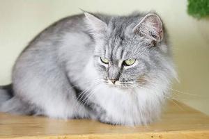 Cat Human Cafe คาเฟ่น้องเหมียว ประกาศหาบ้าน 40 ตัว เจ้าของยกเลิกกิจการ เพราะป่วยหนัก พักรักษาตัว