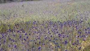 """ลมหนาวมาแล้ว อุทยานแห่งชาติ """"ผาแต้ม"""" ชวนชมทุ่งดอกไม้ป่าตามรอยเสด็จ"""