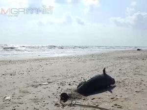 ตะลึง! ชาวบ้านพบก้อนน้ำมันลึกลับโผล่เกลื่อนหาดหัวไทร และมีโลมา-เต่าทะเลเกยหาดตาย