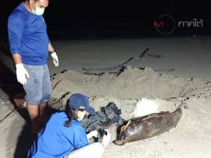 """สัตวแพทย์ชันสูตร """"ซากโลมา"""" เกยหาดหัวไทร กังวลโลหะหนักจากก้อนน้ำมันตกค้างในสัตว์ทะเล"""
