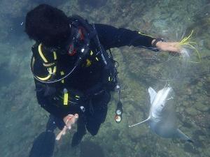 สลด! จทน.กู้ซากฉลามหูดำติดเบ็ดราวตาย เกาะพีพีเล (ชมคลิป)