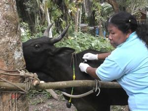 ปศุสัตว์ตรังระดมกำลังฉีดวัคซีนป้องกันโรคปากเท้าเปื่อยวัวชน
