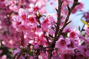 """""""ดอกนางพญาเสือโคร่ง"""" หรือ """"ซากุระเมืองไทย"""" เป็นต้นไม้ที่จัดอยู่ในวงศ์เดียวกับต้นซากุระของประเทศญี่ปุ่น"""