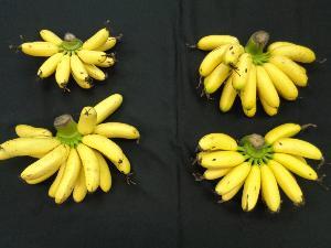 การสุกของผลกล้วยไข่ปกติ  (บนซ้าย) และกล้วยไข่ที่เพิ่มขนาดและน้ำหนักผลที่ยังคงลักษณะเปลือกบางเนื้อแน่นและหวาน