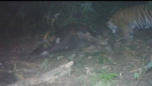 (ชมคลิป)ที่แท้ฝีมือเสือห้วยขาแข้ง!กล้องดักถ่ายเห็นชัดมือฆ่ากระทิงป่าแม่วงก์ พบย้อนกลับมากินเหยื่อซ้ำ