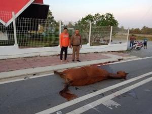 น่าเสียดาย! ม้าเลี้ยงหลุดจากคอกใน อ.สัตหีบ จ.ชลบุรี วิ่งข้ามถนนถูกรถชนดับ