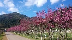 แนวต้นซากุระญี่ปุ่นในสถานีเกษตรหลวงอ่างขาง