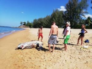 สลด! พบซากเต่ามะเฟืองลอยเกยหาดเกาะพระทอง ลำคอถูกเชือกรัด คาดเกิดจากเครื่องมือประมง