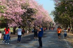 มาตามสัญญา นักท่องเที่ยวแห่ชมความงามตะเบบูญ่าสีชมพู ม.เกษตรกำแพงแสน
