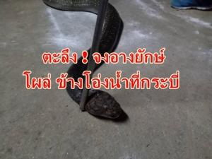 กู้ภัยยังหนาว พบงูจงอางยักษ์บุกบ้านจับปล่อยคืนธรรมชาติ