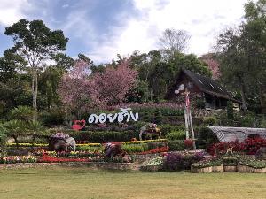 ดอกซากุระบานเปิดรับนักท่องเที่ยวเต็มที่