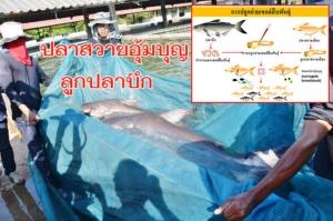 """เจ๋งมาก! นักวิจัย มทส.ปลูกถ่ายเซลล์สืบพันธุ์ """"ปลาสวายอุ้มบุญลูกปลาบึก"""" ได้สำเร็จครั้งแรก มุ่งอนุรักษ์ปลาหายาก"""
